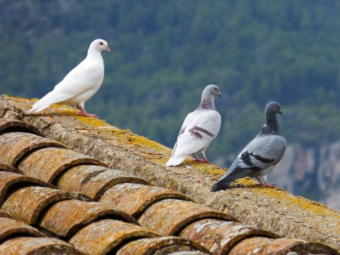 11556-pigeons-1010071_1920