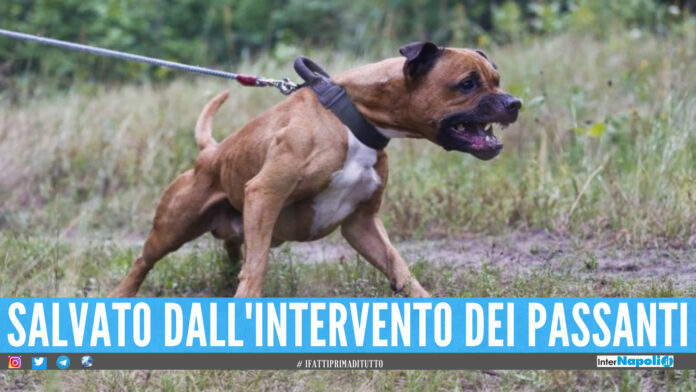Aggressione Pitbull