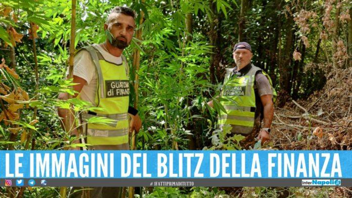 Arrestato imprenditore di Giugliano, nascondeva una piantagione di marijuana