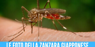 Zanzara Giapponese, l'insetto pericoloso 'invade' l'Italia: «Può essere vettore di malattie»