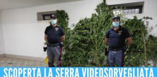 Scovati 50 kg di marijuana grazie all'odore, arrestato 53enne di Acerra